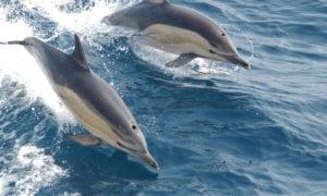 Pływanie z delfinami Azory - Wyspa Sao Miguel